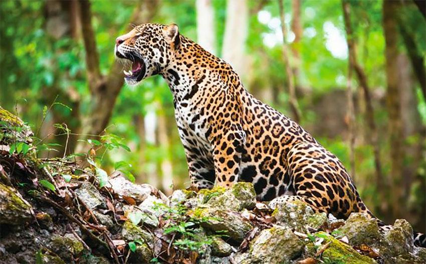 Jaguar-noun ˈdʒæɡ.wɑːr-