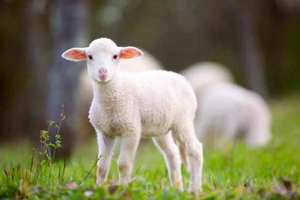 Lamb-noun  læm-