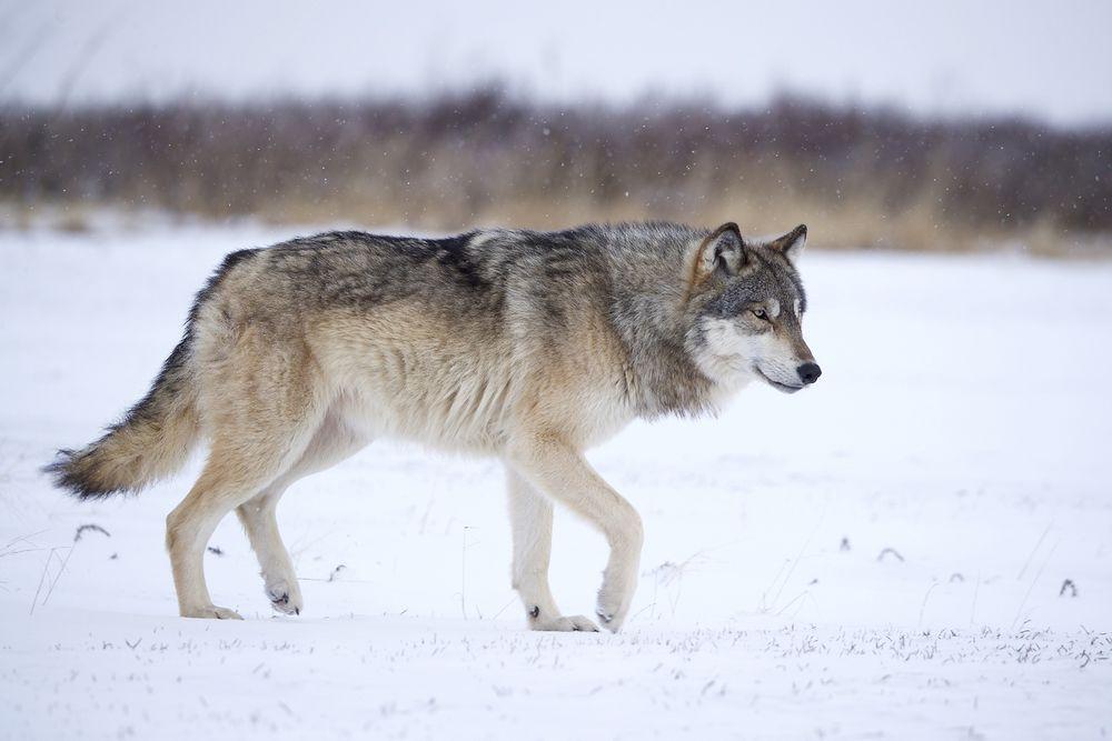 Wolf-noun wʊlf-