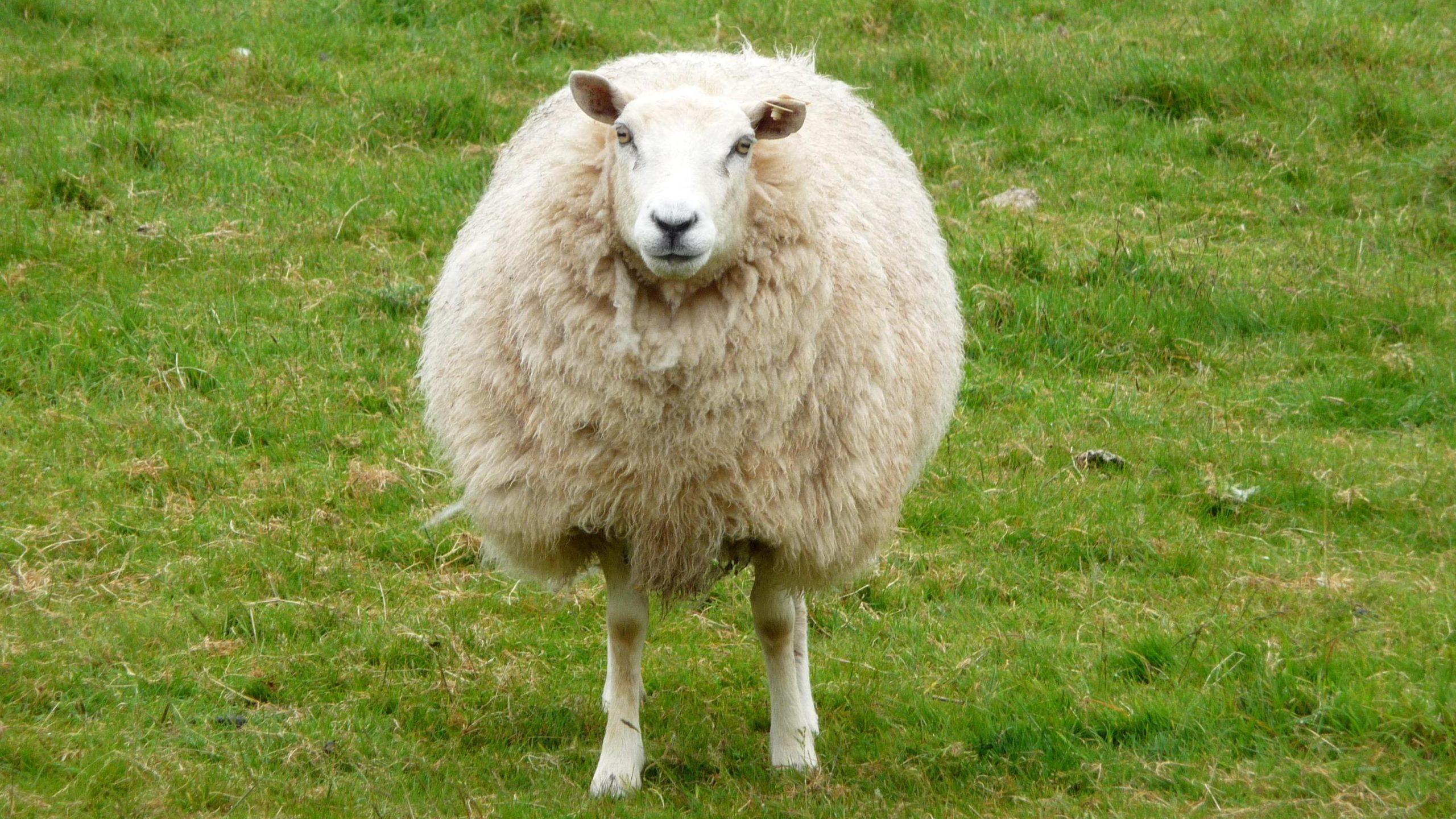 sheep-noun ʃiːp-plural sheep-