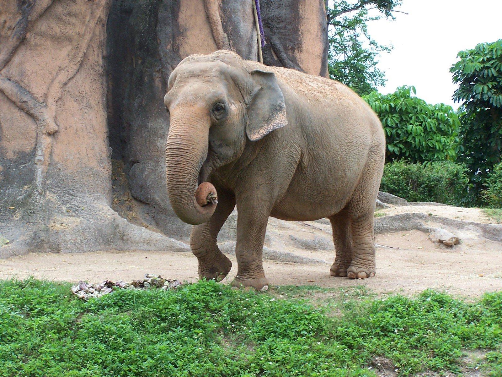 2) Elephant-noun ˈel.ə.fənt-